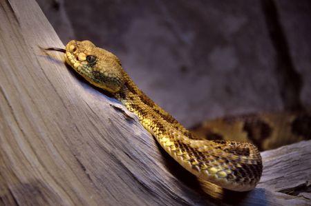 slithering: Snake slithering : Timber Rattlesnake Stock Photo