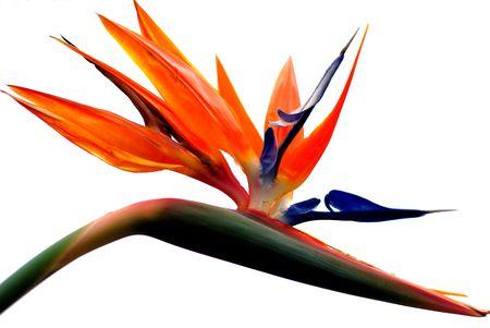 mooie vogel van het paradijs bloem