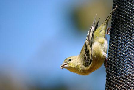 Pájaro amarillo sobre un alimentador  Foto de archivo - 5805886