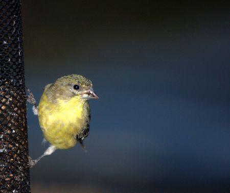 Pájaro amarillo en el alimentador  Foto de archivo - 5831721