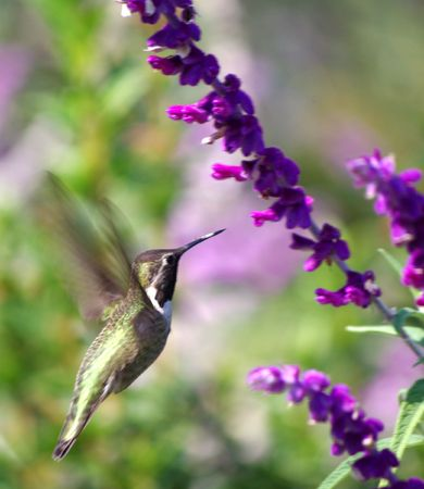 humming bird and purple flowers photo