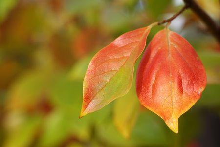 persimmon: caqui hojas en oto�o Foto de archivo