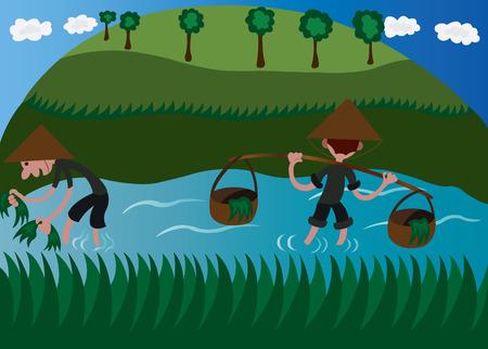 Asian Farmers in the Fields Growing Rice