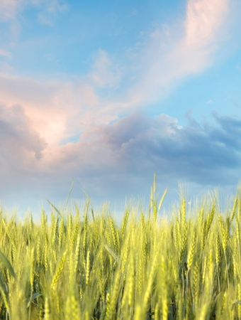 Wheaten field in the morning with blue sky Stock Photo - 14692195