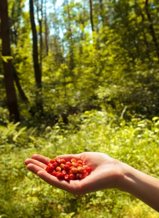 Wild strawberry in a hand in the wild wood