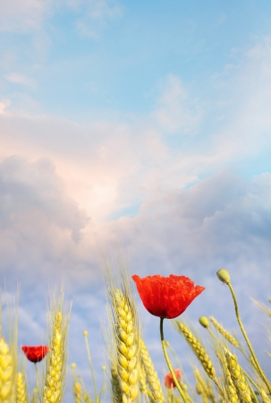 Field poppy against the blue sky. Summer morning Stock Photo