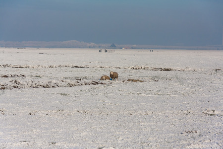 lonesome: Two lonesome sheep in a Dutch winter wonder landscape
