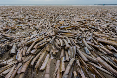 ensis: The razor shell, Ensis arcuatus, also called razor clam or razor fish, is a bivalve of the family Pharidae. It is found on sandy beaches in Northern Europe and Eastern Canada.
