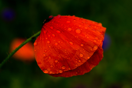 nederland: Close-up of a beautiful flower with lovely colors
