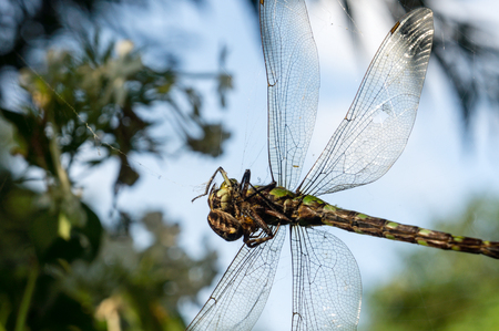 spiders web: A dragonfly being caught in a spiders web. Stock Photo