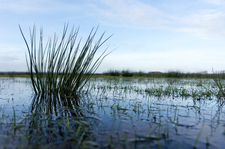 noord: close-up of reed in the northern part of Holland near the city of Bergen