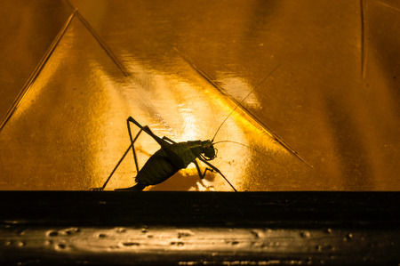 insecta: Grasshopper on the move, found him happely walking in front of a lamp, perfect.