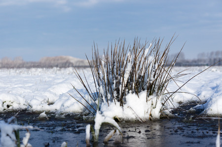 noord: Close-up of some frozen reed in mid winter in the Netherlands