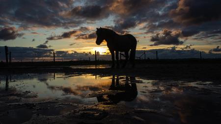 noord: Icelandic Horse during sunset near the Dutch coast