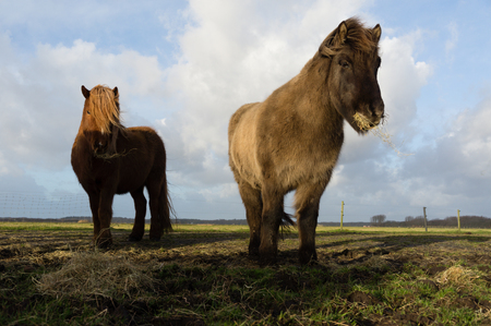 noord: Icelandic horses during feeding time in the winter