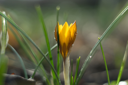 Crocusses in the middle of winter, first sings of the approaching spring Stock Photo