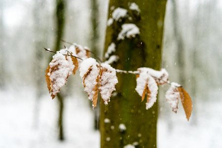 Snow covered leaves in a forest during snowfall Stock Photo