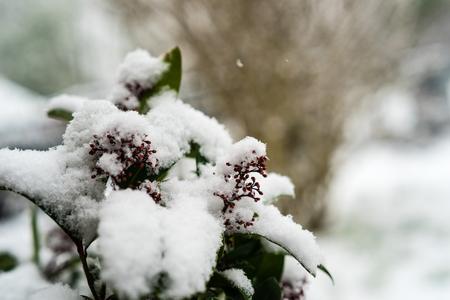 rubella: Skimmia japonica covered with snow Stock Photo