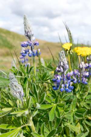 Dandelions and lupines are to be found all over Iceland Stock Photo