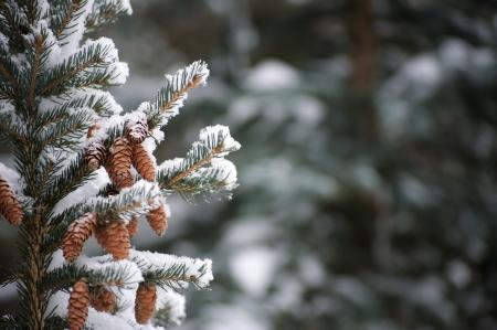 Nieve en las ramas de hoja perenne Foto de archivo - 20272664