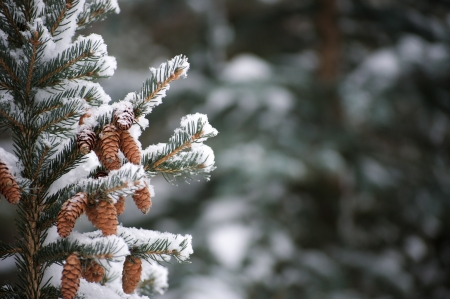 winter: Snow on evergreen branches
