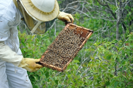 beekeeper: Beekeeper checking a frame of honey bees from the hive