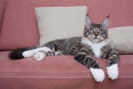 coon: cat of the sort maine coon lying on sofa Stock Photo
