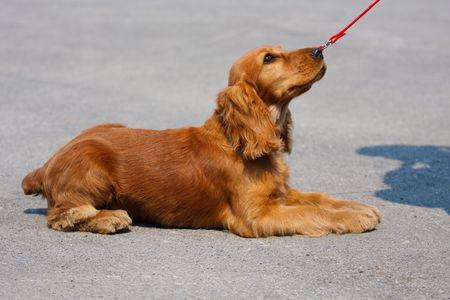 dog breed cocker spaniel lying on the pavement Stock Photo - 6012730