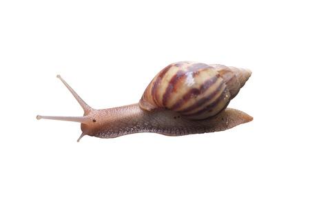 slithery: Snail isolated on white background Stock Photo