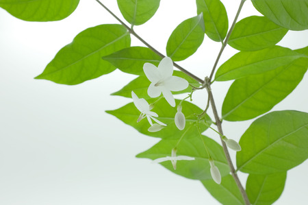 redolence: Spring blossom background - green leaves and white flowers Stock Photo