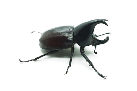horn beetle: Rhino big horn beetle bug
