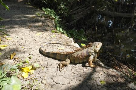 iguana: Iguana in tropical forest Stock Photo
