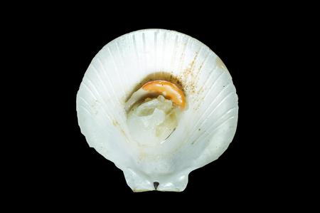 saltwater pearl: Raw fresh scallop