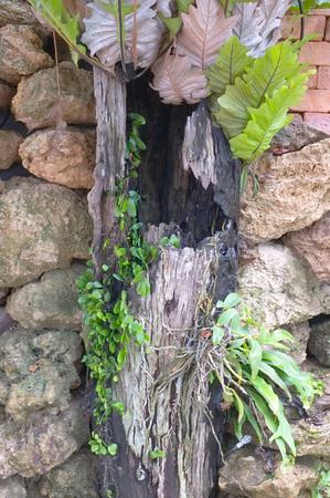 helechos: Los helechos crecen en la roca