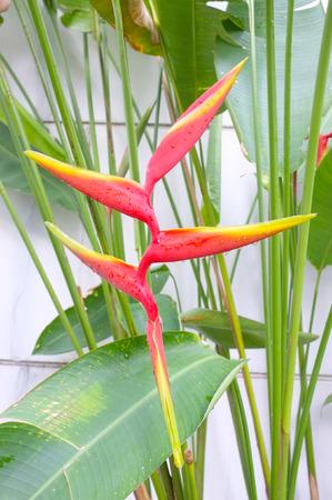 bird of paradise plant: Bird of paradise flower, Strelitzia plant