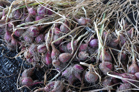 harvesting red onions on the field. Stock Photo