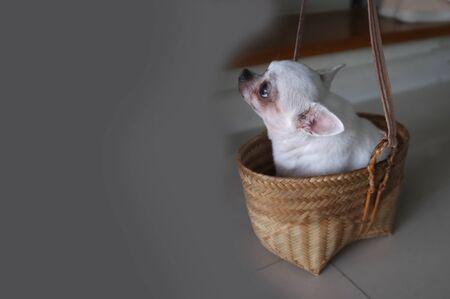Cute chihuahua in a basket . Pet background Archivio Fotografico
