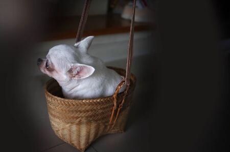 Cute chihuahua in a basket . Pet background