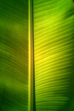 Texture background of  fresh green banana Leaf. Banco de Imagens