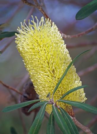 banksia flower yellow Stock Photo