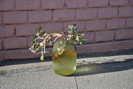 jade plant: Plant crassula, jade tree , money tree in the pot on the asphalt in Saint-Petersburg