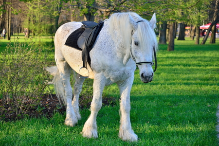 stirrup: White horse grazing in the city Park of the Victory in Saint-Petersburg