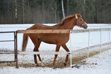 gait: Bay horse stands in an open cage and impatiently waits for the host of the winter in Alexander Park in Pushkin, St. Petersburg