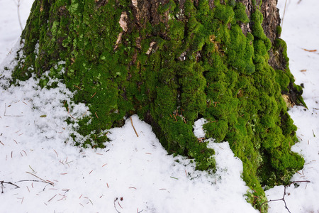 winter thaw: Green moss on the bark of the tree against the snow in the spring in Alexander Park in Pushkin, St. Petersburg