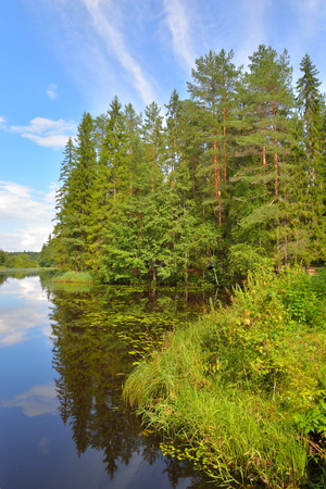 thickets: Landscape with blue sky, pine trees and a river with thickets of water lilies in July Stock Photo