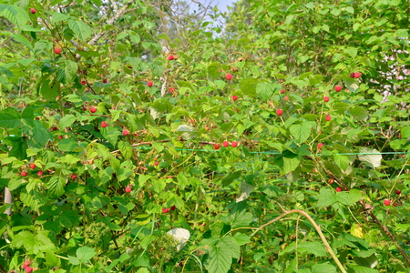 laden: Dense thickets of raspberry bushes Laden with ripe berries in the suburbs of St. Petersburg Stock Photo