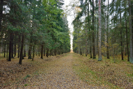 leningradskaya: Fir alley in late autumn in the Park. Pavlovsk in late autumn Stock Photo
