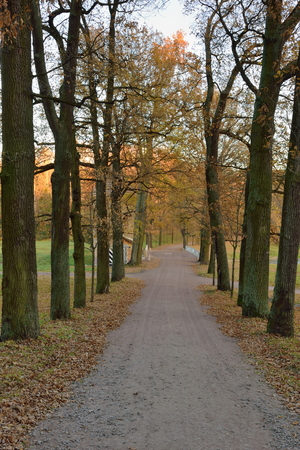leningradskaya: Oak alley in late autumn at sunset. Pavlovsk in late autumn Stock Photo