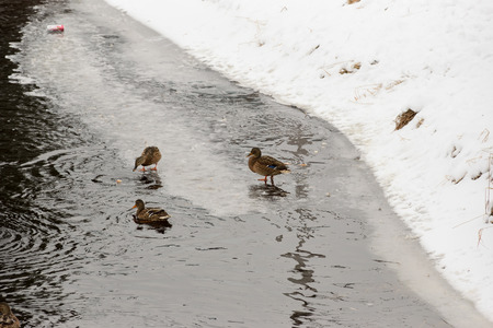 edge of the ice: Duck walking on the edge of the ice on the river and feed bread