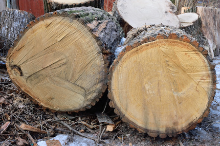 sawn: Sawn into large lumps thickest tree in the village of Vyritsa of the Leningrad region Stock Photo